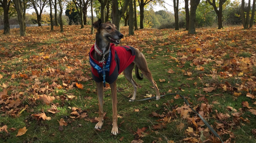 Lonely lurcher finds loving home after a year of rehabilitation